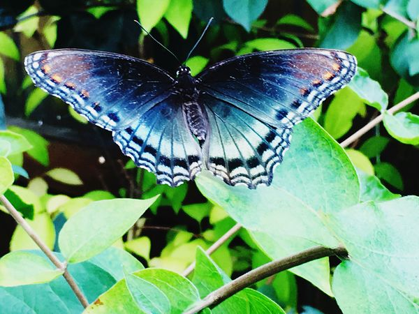 Iphone6 Butterfly Close-up Butterfly - Insect Nature Red Spotted Purple Butterfly