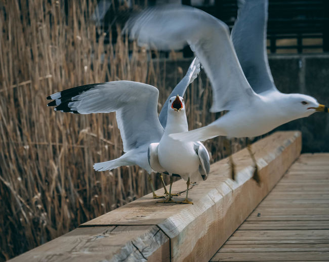 Animal Animal Themes Animal Wildlife Animals In The Wild Bird Day Flying Focus On Foreground Group Of Animals Nature No People Outdoors Railing Seagull Spread Wings Vertebrate Water White Color Wood - Material