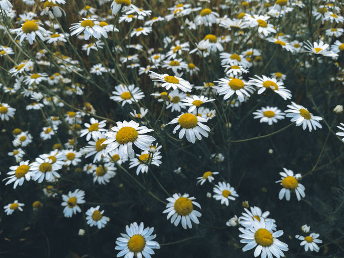 High angle view of daisies on field
