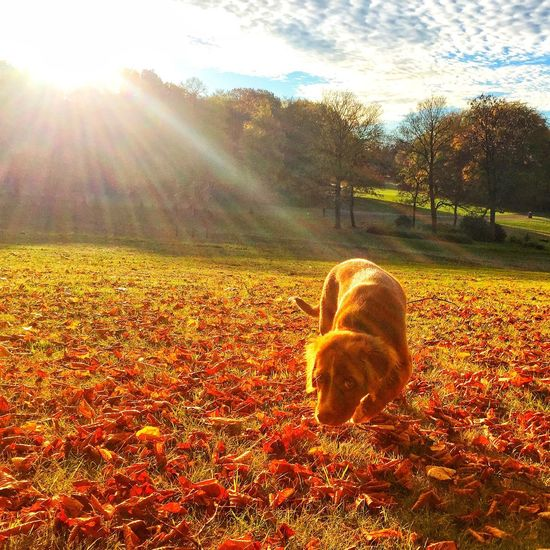 Autum Novia Scotia duck tolling retriever Novia Scotia Duck Tolling Retriever Puppy Sunlight Nature Mammal Sky Domestic Animals Pets Animal Themes One Animal Lens Flare Sunbeam Domestic Canine Dog Animal Sun Day Field