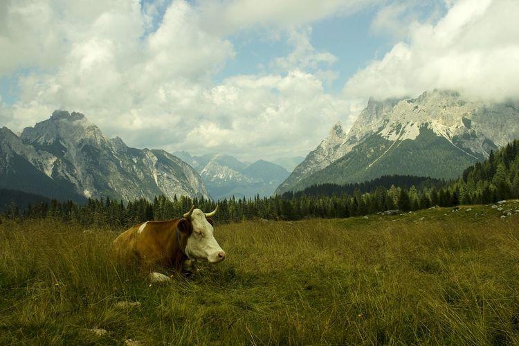 quiet cow Mountain Relaxing Mountain View Sauris
