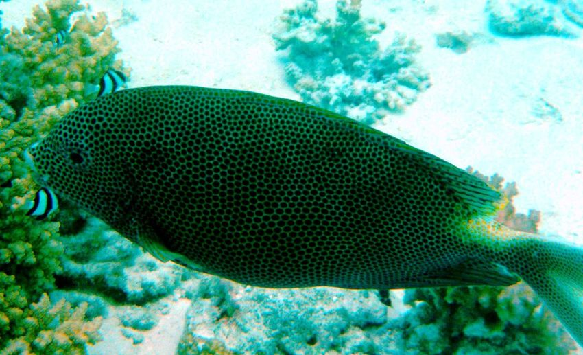 Spotted Fish Underwaterworld Water Closeup Shots Diving Fish Underwater Photography Maldives Indian Ocean Ocean Life Beauty In Nature Exotic Fish Island Experience Coral Reef Best Of EyeEm EyeEm Gallery