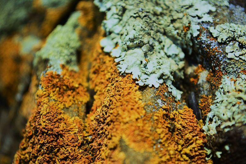 Nature Textured  No People Beauty In Nature Day Lichen In Macro Lichen Green Orange Color Macro лишайник оранжевый зеленый макросъемка макро Природа красноярск Krasnoyarsk Enisey Енисей