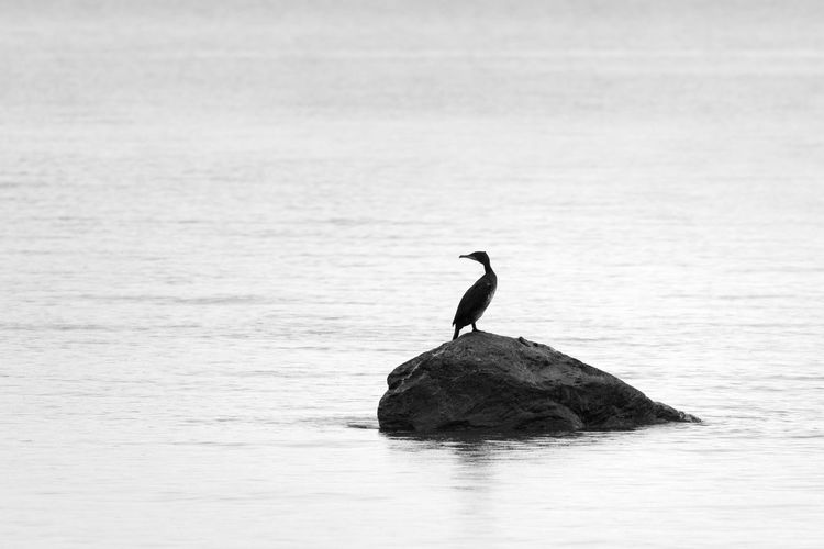 Cormorant sitting on rock in sea looking back over shoulder Animal Themes Animal Wildlife Animals In The Wild Bird One Animal Water Perching Black And White Copy Space Cormorant  Looking Away Looking Over Shoulder Sea Full Length Solitude Remote Side View Selective Focus Focus On Foreground Silhouette Animal No People Waterfront Rock - Object Beauty In Nature Nature Outdoors Day Solid Vertebrate Tranquility