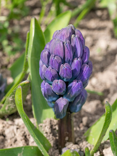 Blooming purple hyacinthus. Flower background. Spring time Hyacinthus Orientalis Beauty In Nature Blooming Close-up Day Field Flower Flower Head Focus On Foreground Fragility Freshness Green Color Growth Nature No People Outdoors Petal Plant Purple Sunlight