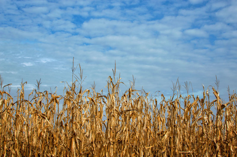 stalks of gold Corn Corn Stalk Farmland Farm Growth Nature Sky Plant No People Day Blue Outdoors Cloud - Sky Beauty In Nature Close-up Rural Scene
