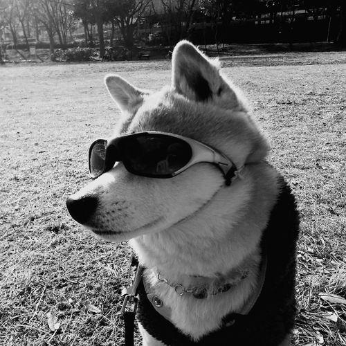 #豆柴 #日本犬 #柴犬 #サングラス #公園 #犬 #ペット #しばいぬ Pets Dog Protruding Close-up First Eyeem Photo