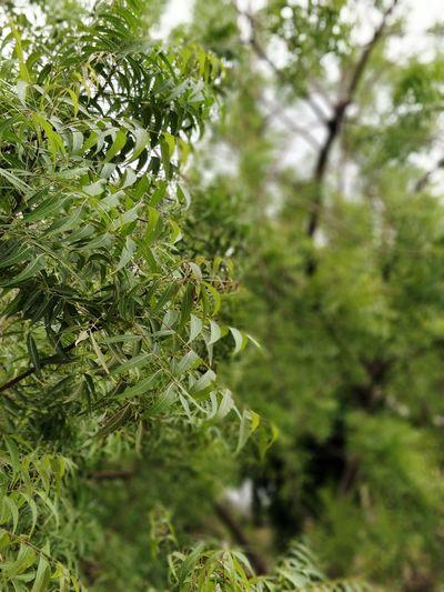 Neem Leafs Neem Neem Tree Neem Leaves Greenery Bokeh Photography Tree Close-up Plant Green Color Leaves Plant Life EyeEmNewHere
