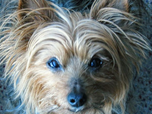 Buitifull Magnifique Quebec Soleil Dog Chien Animal Face Visage