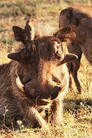 Animals Animal Warthog Warthogs Pumba Wild Animal Wildlife Wildlife & Nature Portrait Portraiture Kruger Park Krüger National Park  South Africa Popular Popular Photos EyeEm Best Edits EyeEmBestPics EyeEm Gallery EyeEm Best Shots Bird Warthog With Bird Natural Light Portrait Original Experiences 43 Golden Moments The Great Outdoors - 2017 EyeEm Awards The Portraitist - 2017 EyeEm Awards