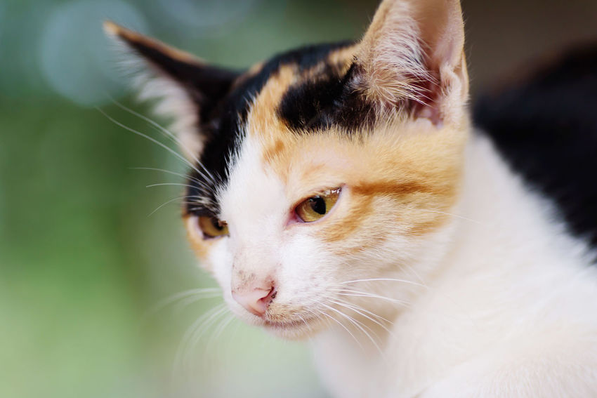 Tricolor cat Kitty Thai Cat Animal Animal Body Part Animal Eye Animal Head  Animal Themes Cat Close-up Domestic Domestic Animals Domestic Cat Feline Focus On Foreground Kitten Looking Looking Away Mammal No People One Animal Pets Portrait Tricolor Cat Vertebrate Whisker