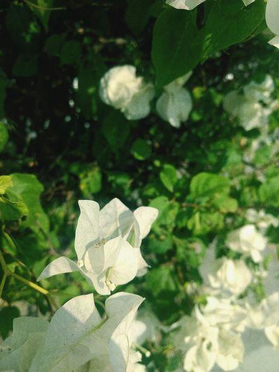 armonía Flower
