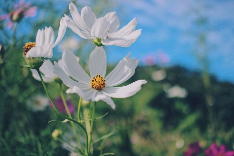 The flower of spring and autumn! Travel Destinations Spring Autumn Nature_collection Power In Nature Naturelovers Nature Photography Cosmos Cosmos Flower Autumn Flora Flower Flowering Plant Plant Freshness Beauty In Nature Fragility Vulnerability  Petal Growth Close-up Flower Head Focus On Foreground White Color Pollen Nature Animal Themes No People Inflorescence Botany Day
