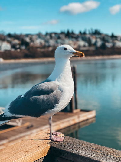 Close-up of seagull perching on wood against lake