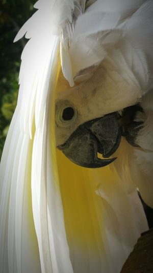 Hiding out! A Yellow Crusted Cockatoo. Hiding from people. Up Close And Personal EyeEm Nature Lover EyeEm Best Shots No Filter, No Edit, Just Photography Leave Me Alone! Showcase: January EyeEm Gallery White Bird Eye For Photography