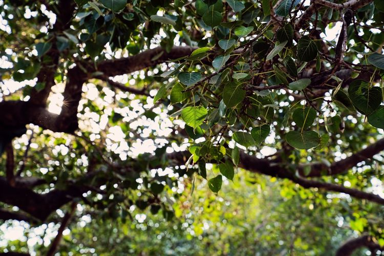Bodhi Tree Beauty In Nature Bodhi Leaves Bodhileaf Branch Day Focus On Foreground Food Food And Drink Freshness Gaya Green Color Growth Leaf Low Angle View Nature No People Outdoors Plant Plant Part Selective Focus Sunlight Tranquility Tree