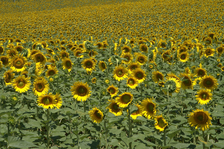 Sunflowers near my farmhouse Beauty In Nature Day Fiori Flower Flowers,Plants & Garden Girasoli Growth Marche Nature No People Outdoors Sunflowers Yellow