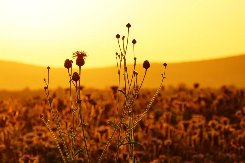 Phacelia fields and weed in the sunset Phacelia Beauty In Nature Close-up Day Field Flower Focus On Foreground Freshness Growth Nature No People Outdoors Pilis Pilisszántó Plant Sky Sunset Tranquility Weed Yellow