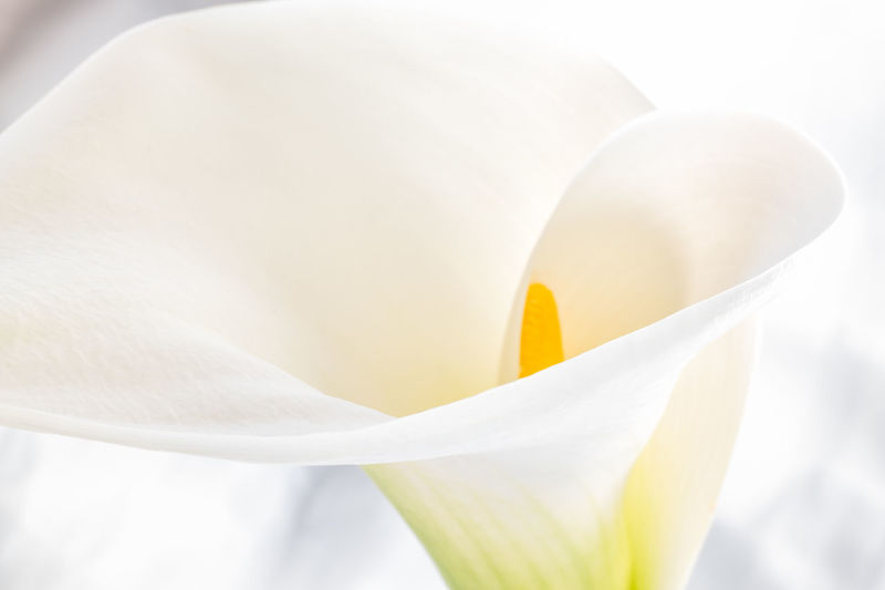 Beautiful lines if white lily close up