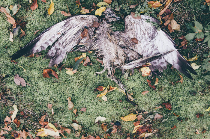 Animal Autumn Bird Change Contrasts Crow Day Dead Death Fallen Fallen Leaf Field Fragility Grassy Ground Group Of Objects Leaf Leaves Messy Natural Condition Nature No People Outdoors Skeleton Tranquility Adapted To The City