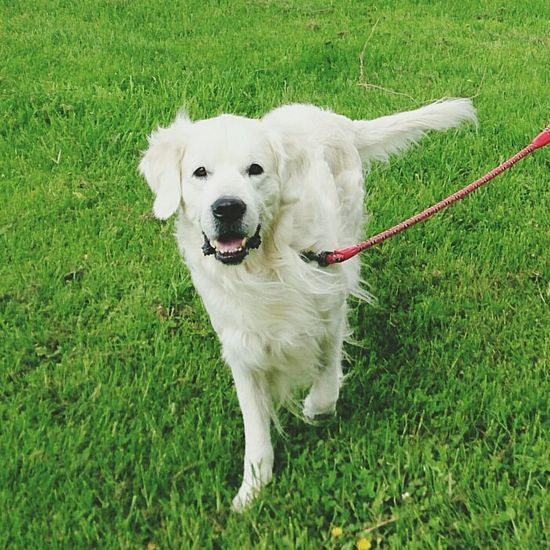 Dog Labrador Pamplona