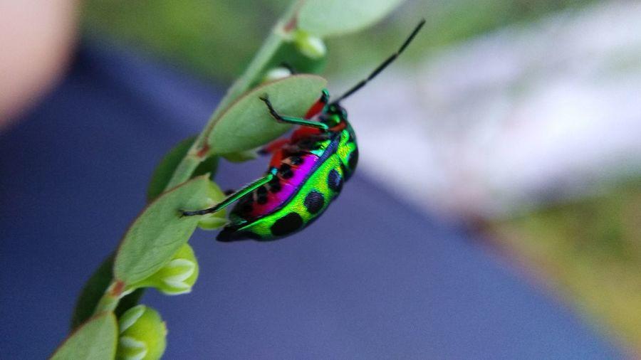 colorful bug EyeEmNewHere Leaf Insect Close-up Animal Themes Green Color Plant Bug Animal Antenna Wildlife Ladybug