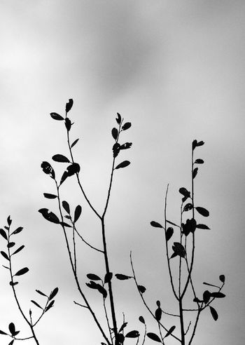 Silhouette of autumn trees Autumn Autumnal Bare Tree Beauty Black And White Branch Change Cold Copy Space Copyspace Dead Plant Fall IPhoneography Leaf Leaves Lonely Nature Outdoors Plant Silhouette Silhouetted Tree Twig Victoria Gardner