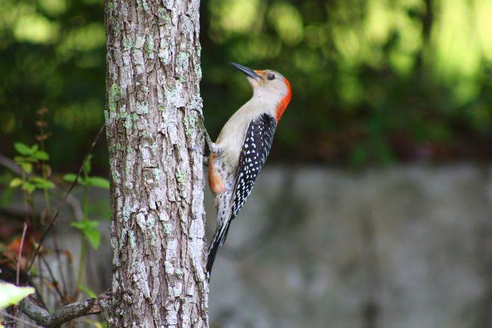 Woodpecker Red-bellied Woodpecker Melanerpes Carolinus Birdwatching Bird Photography Ornithology  Backyard Enjoying Nature Beautiful Nature God's Beauty