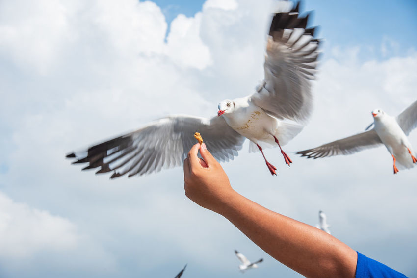 seagulls in action is flying on the sky with cloud,It is hovering food in hands Bird Spread Wings Vertebrate Flying Human Body Part One Person Animals In The Wild Sky Animal Wildlife Cloud - Sky Human Hand Hand Real People One Animal Day Nature Lifestyles Body Part Feeding  Seagull Outdoors Finger Flapping
