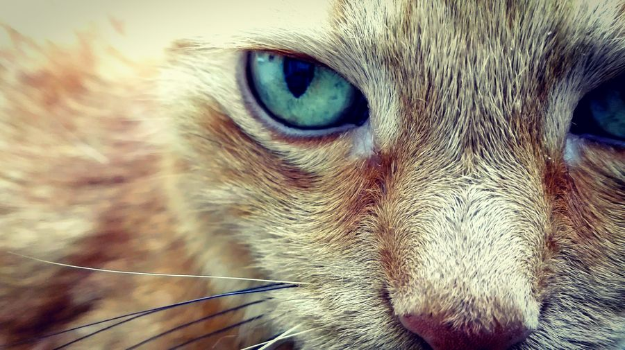 The 👁 of the 🐯 Tiger The Eye Of The Cat The Eye Of The Tiger Pets Portrait Looking At Camera Domestic Cat Eyeball Close-up Animal Eye Snout Animal Head  Animal Face Cat Eye Whisker Feline Animal Nose Adult Animal Iris - Eye Animal Ear