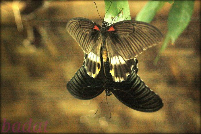 Butterflyporn Butterflies Butterfly Collection Butterfly ❤ Mating Season Mating Mating Pair Of Butterfly Naturelovers Flower & Butterfly