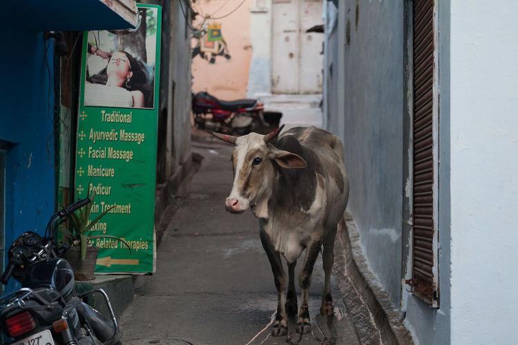 Cow India