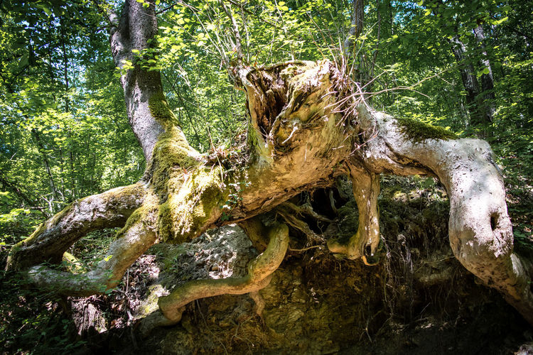 Spider tree Branch Close-up Day Earth Explore Forest Grass Hike Koleshin Leaves Light Macedonia Moss Nature Old Outdoors Root Shadow Spider Spring Sunny Tranquility Travel Tree Tree Trunk