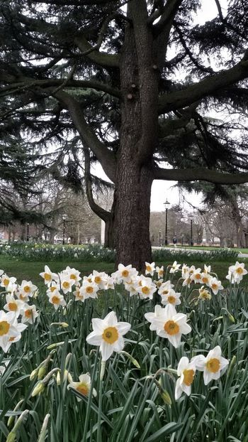 Spring in the park. The flowers stand out and hit the eye.. Park Flowers Trees Nature Garden Colors Plants Environment Dafodils Springtime Season  Close View Uk Hampshire  Southampton