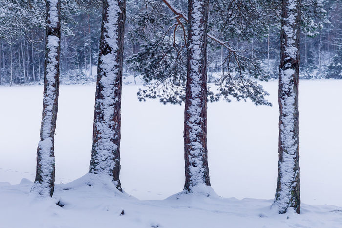 Snowclad tree-trunks in the forest. Snow Cold Temperature Winter Tree Plant Tree Trunk Trunk Beauty In Nature Tranquil Scene Nature Tranquility No People Forest White Color Scenics - Nature Frozen WoodLand Outdoors Environment Hiking Hiking Adventures