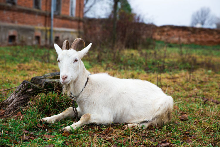 A white domestic goat is sitting at a meadow on red walls background. Adult Agriculture Autumn Goat Grazing Green Horns Nature Pasture Sitting Young Cheese Cute Day Domestic Animals Field Grass Landscape Mammal Meadow Milk Nature Outdoors Village White