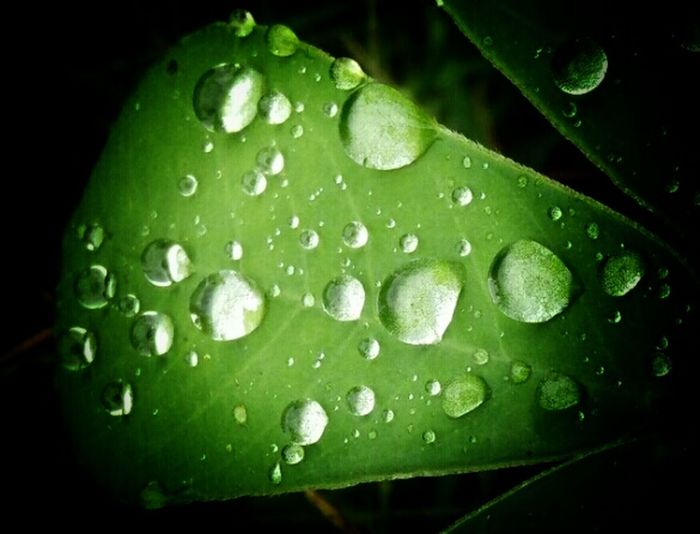 Rain Drops _ Collections Getting Creative Mobile_photographer Taking Photos Nature Photography Rain Drops On Leaves Rain Drops! #nature#water#leaf Nature On Your Doorstep Natural Beauty Nature Beauty Naturelover I Love It..💟 Love U Followers❤✌. Keep Smiling With Love From India💚 truly...urs... Nitin