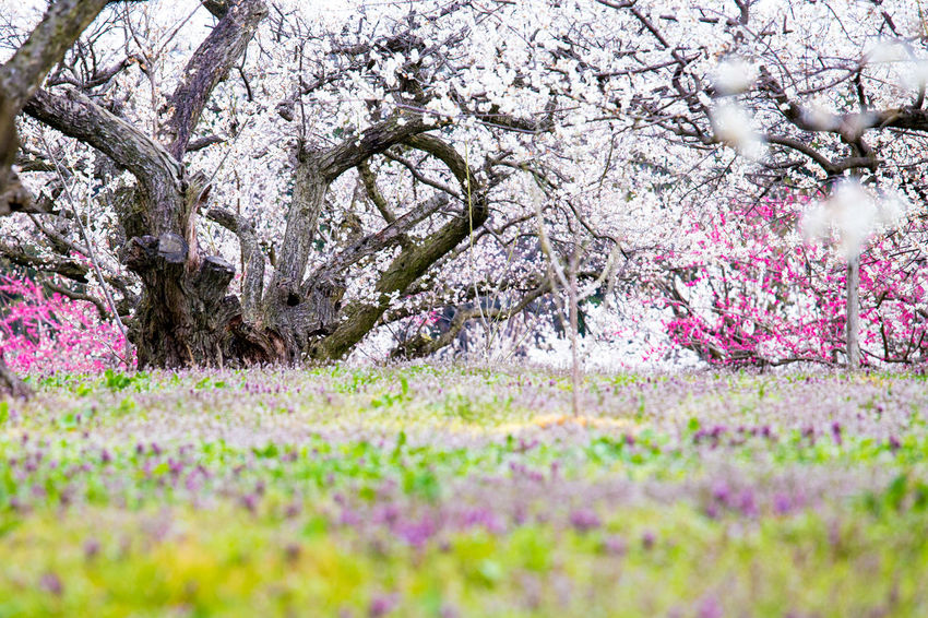 Beauty In Nature Flower Nature Tree 梅