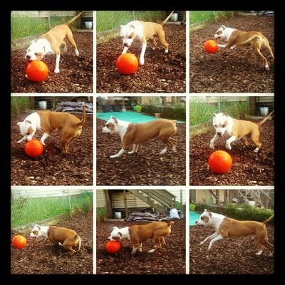 Always up for a Game of Jollyball Floydpup Ilovemydog Instgramdogs Pitbullsofinstagram Pitbull Pitthings Pitbullsofig Amstaff Americanstaffordshire