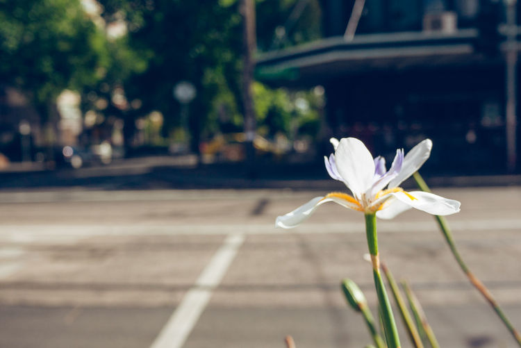flower on the side walks Flowering Plant Flower Plant Vulnerability  Fragility Freshness Petal Beauty In Nature Focus On Foreground Inflorescence Growth Close-up Nature Flower Head Day No People White Color Outdoors Plant Stem Iris - Plant Streetwise Photography