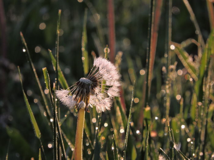 Beauty In Nature Close-up Dandelion Dandelion Seed Day Dewdrops On Grass Field Flower Flower Head Flowering Plant Focus On Foreground Fragility Freshness Growth Land Nature No People Outdoors Plant Plant Stem Selective Focus Softness Vulnerability  Wilted Plant