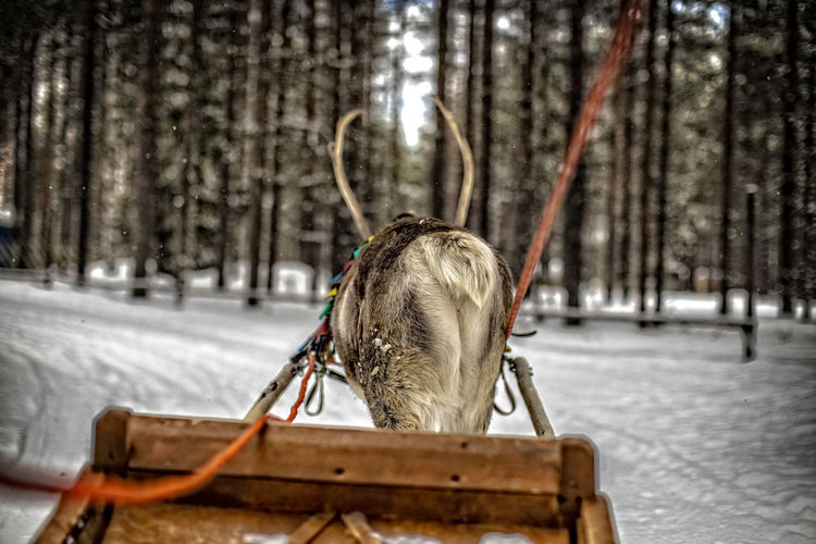 {Deery Me} - A view from behind of a reindeer sleigh ride in Lapland, Finland. Christmastime Christmas Decoration Santa Claus Lapland North Winter Deer Reindeer Beautiful Snow Snow ❄ Finland Peace And Quiet Relaxation Tree Snow Cold Temperature Winter Close-up Covering Frozen Deep Snow Snowfall Season  Snowing Powder Snow EyeEmNewHere