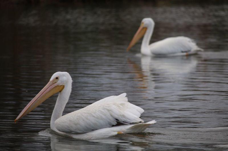 Pelicans Bird White Color Animals In The Wild Nature Water Animal Themes Lake Swimming No People Beak Pelican Beauty In Nature Walking Around City Life Scenics Water Bird