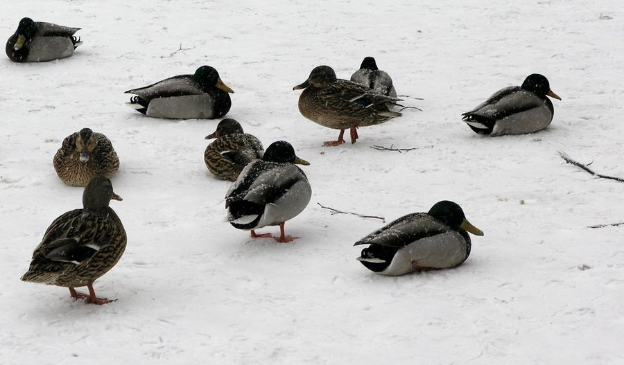 High angle view of ducks on snow covered land