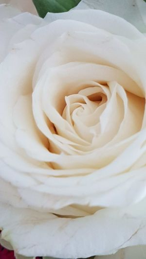 Rose - Flower White Color No People Backgrounds Nature Flower Close-up Flower Head Indoors  Freshness Day Flower Photography Pastel Colors Fragility Rose Inside Freshness Elegant Softness Tenderness