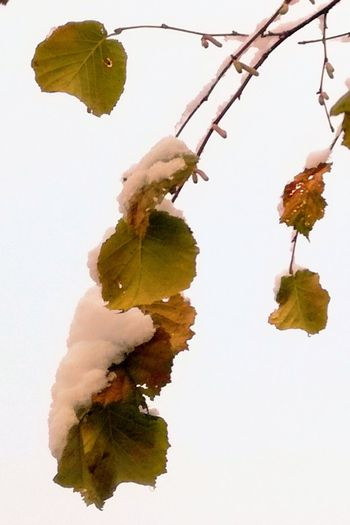 'HANGING ON..' Water No People White Background Day Tree Outdoors Nature Close-up Freshness Leaves Snowing Freezing ❄ Afternoonlights Nature Photography Sky Cold Urban Nature Darker Days Wintertime Oslo 2017 Urban Beauty In Nature Low Angle View Branch KJ✨