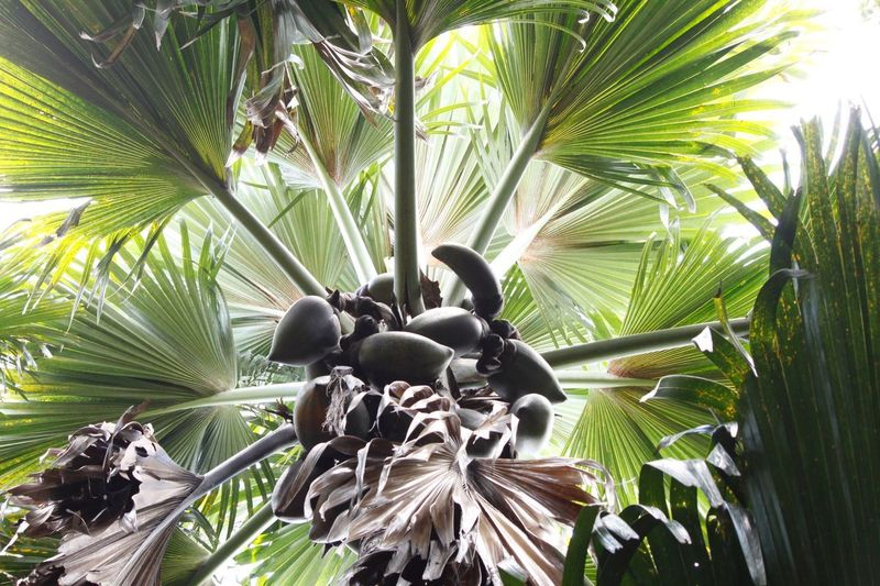 Hello World Hello Seychelles Praslin Seychelles Valle De Mai Coconut Trees Looking Up Palm Tree Coco De Mer Nature Growth Beauty In Nature Outdoors Paradise Enjoying Life Taking Pictures Click Click 📷📷📷 Green Color Green Green Green!  Real Life Colorful Africa