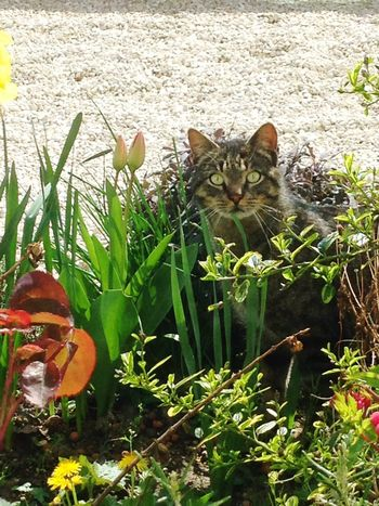Savage cat in my garden Cat Savage Garden Cats Animal Animal_collection Animals Flowers Spring Beautiful