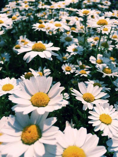 Full frame shot of white daisies