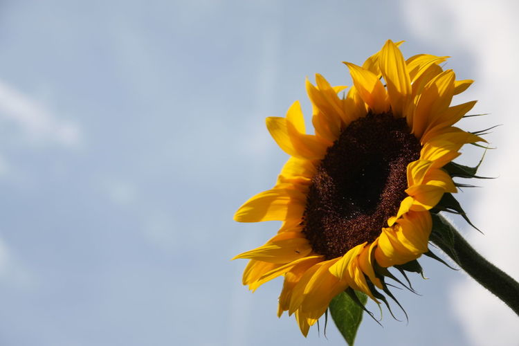 Low angle view of sunflower blooming against sky